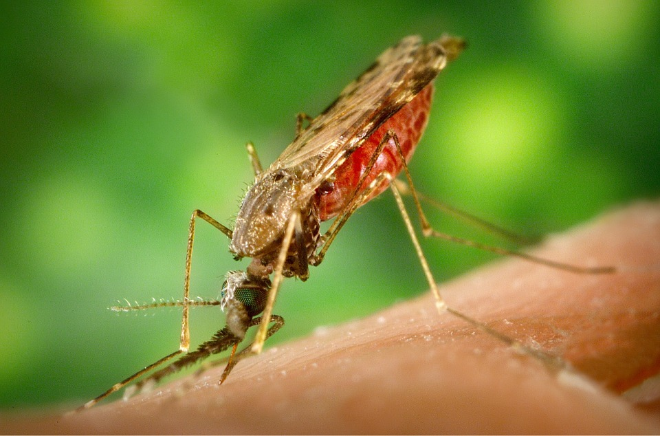 mosquito-1016254_960_720